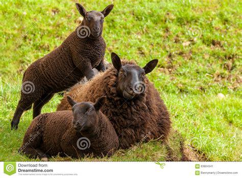 imagenes de ovejas negras ovejas negras de la madre foto de archivo imagen 63804341