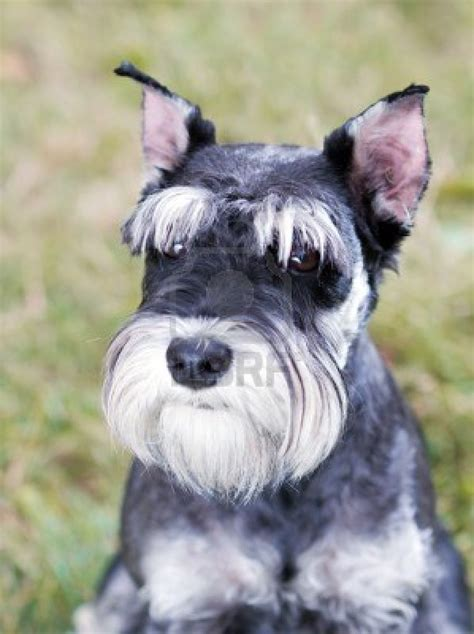 pictures of schnauzer puppies serious miniature schnauzer photo and wallpaper beautiful serious miniature