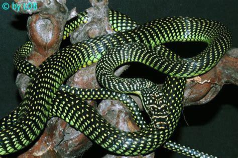 serpenti volanti serpente volante insideout il podcast liceobagatta