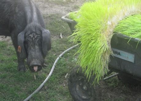 pigs   swabian hall foodists
