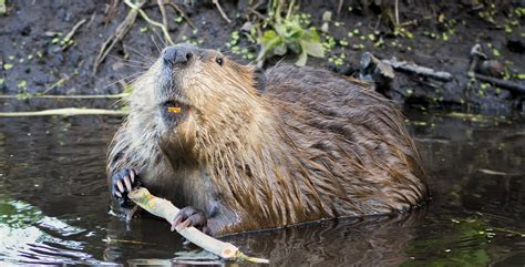 Beaver Pc Thats Actual Beaver Not The Brand Beaver by Beaver Wallpapers Images Photos Pictures Backgrounds