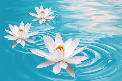 Lotus In The Water Lotus Flower Hd Wallpapers Hd Wallpapers High