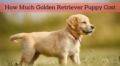 cost of a golden retriever puppy how much golden retriever puppy cost in 2017