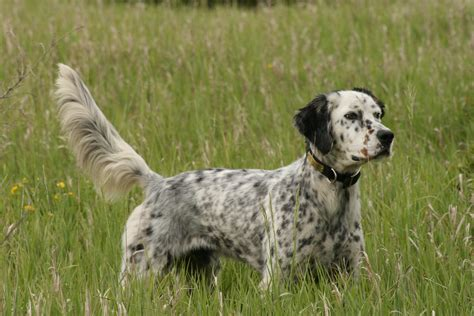 english setter dog pictures english setter hunting wallpapers and images wallpapers