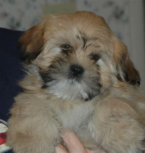 lhasa puppy puppies
