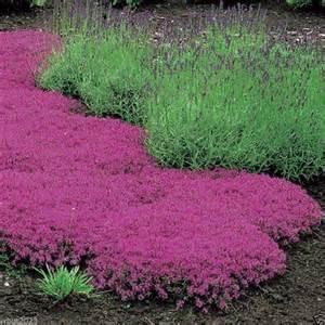 creeping thyme seeds magic carpet thymus serpyllum