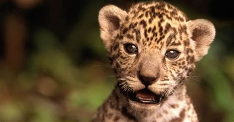 imagenes de jaguar bebe matan a jaguar cachorro en riviera maya peri 243 dico notus