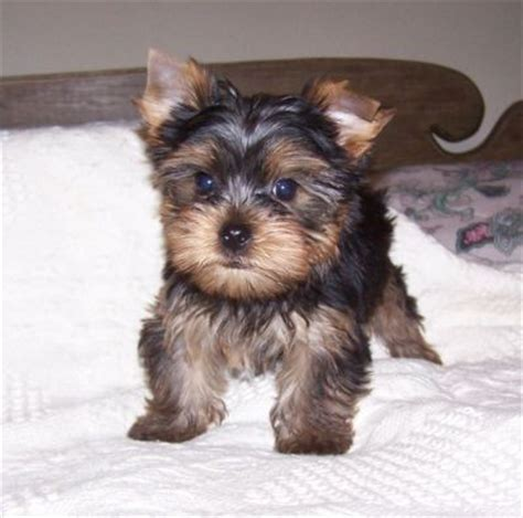 teacup yorkie for sale in maryland yorkie puppies in maryland breeds picture