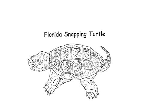 85 Best Everglades Art Projects Images On Pinterest Snapping Turtle Coloring Pages