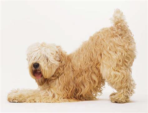 Wheaten Terrier Shedding by Perros De Raza Wheaten Terrier