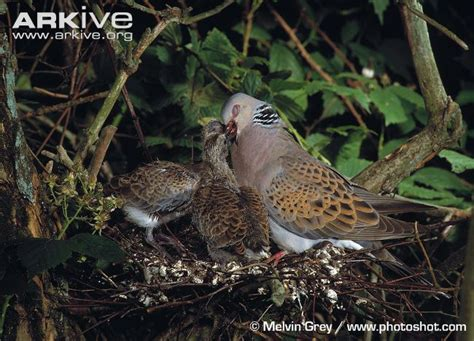 turtle dove photo streptopelia turtur a10441 arkive
