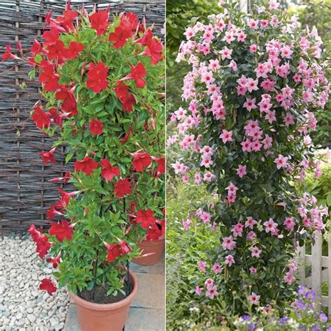 How To Make Trellis For Climbing Plants Dipladenia Our Plants Kaw Valley Greenhouses