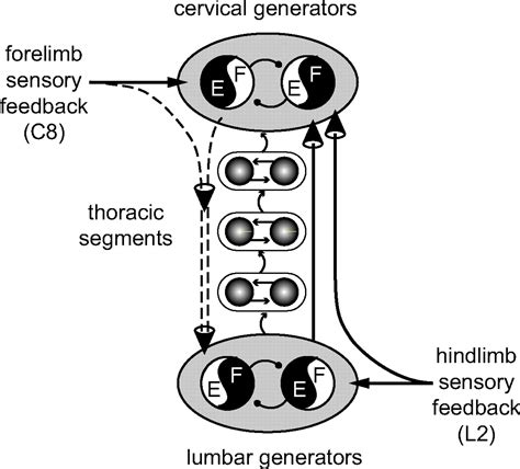 pattern generator spinal cord cervicolumbar coordination in mammalian quadrupedal