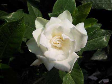 gardenia significato fiore gardenia coltivazione