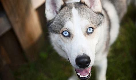 husky puppy facts siberian husky breed information