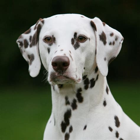 liver spotted dalmatian stock photo image  spot liver