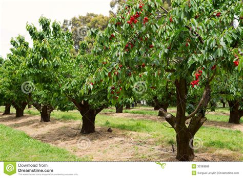 cherry tree unripe cherry trees in garden stock photo image of nature agriculture 35389986