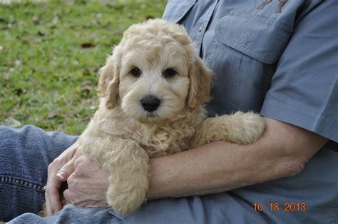 mini goldendoodles hypoallergenic golden doodle on goldendoodle mini