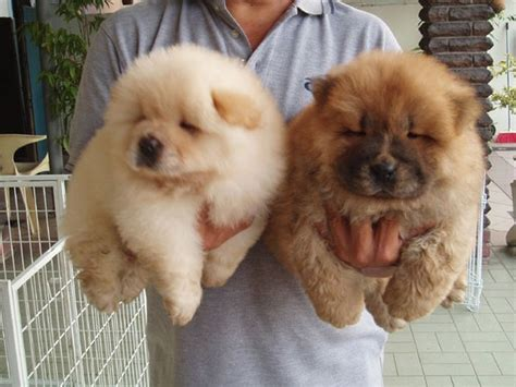 how much are chow chow puppies chow chow puppy breeders jpg 7 comments