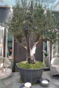 Patio Tree Planters by Potted Olive Tree Trees Pinterest Olive Tree Modern