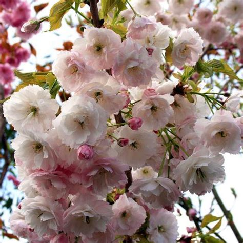 mail order tree flowering cherry trees prunus mail order trees