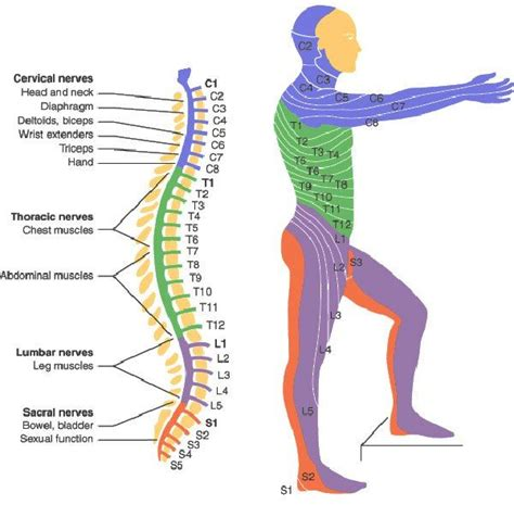spinal cord injury diagram best 25 spinal cord injury levels ideas on