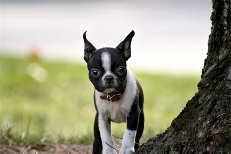 boston terrier pictures boston terrier images femalecelebrity