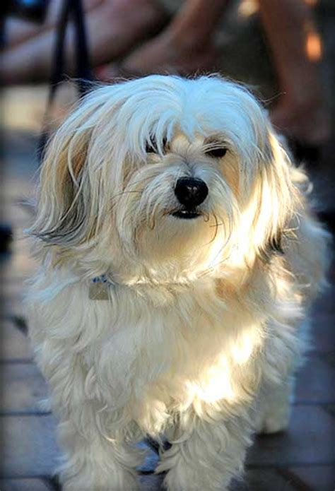do havanese dogs shed top 15 breeds that do not shed much easyday