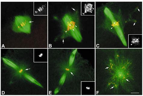meiotic spindle   drosophila oocyte  role