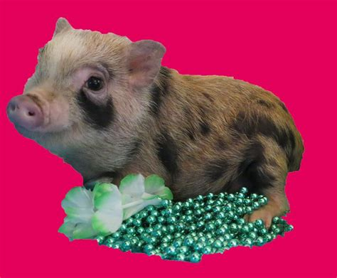 are teacup pugs real teacup pigs for sale teacup pig scams teacup pigs