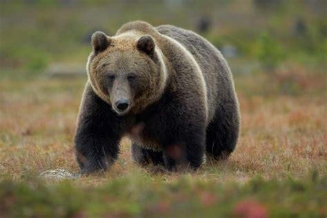 imagenes de osos navideños un oso arranca la mano a un ni 241 o que le daba de comer en
