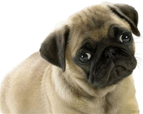 black pug temperament pug general features temperament health