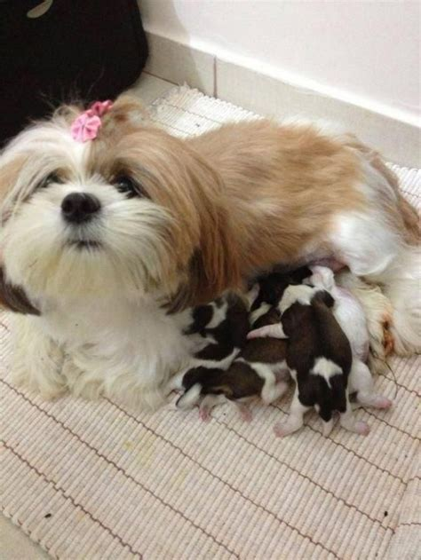 shih tzu weepy 112 best images about 4 patas on miniature dachshund puppies labradors
