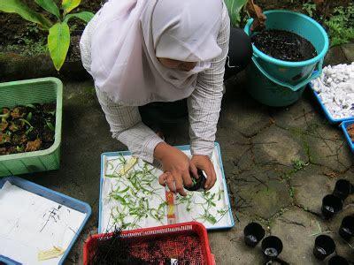Bibit Anggrek Kompot tissue culture and orchidologi mengeluarkan bibit anggrek
