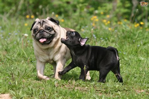 all about pugs information other names for this breed are pug bulldog breeds picture