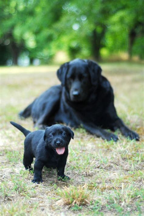black lab puppies black labrador puppy with its