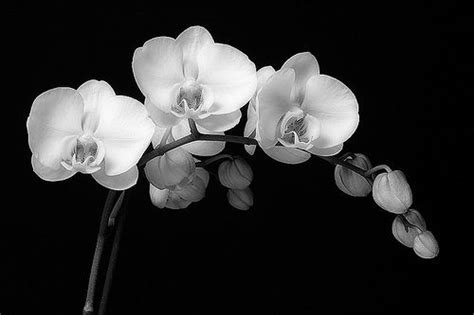 orchidea nera fiore black and white orchid by vv06 via flickr photos