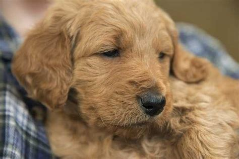 goldendoodle puppy rescue san diego goldendoodle puppies in san diego for sale adoption from
