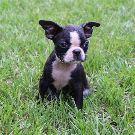 frenchton puppies for sale in alabama frenchton and bulldog puppies for sale highnote alabama
