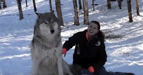 mujer con un perro mas grande perros lobo archivos amoranimal es