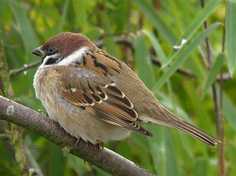 bird graphics tree sparrow 869947 bird graphic gif