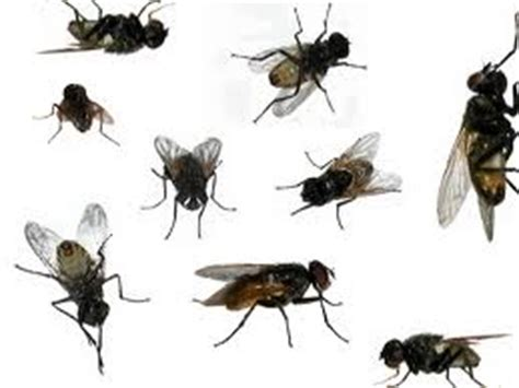 how to kill house flies natural ways to attract and kill flies at home demfy