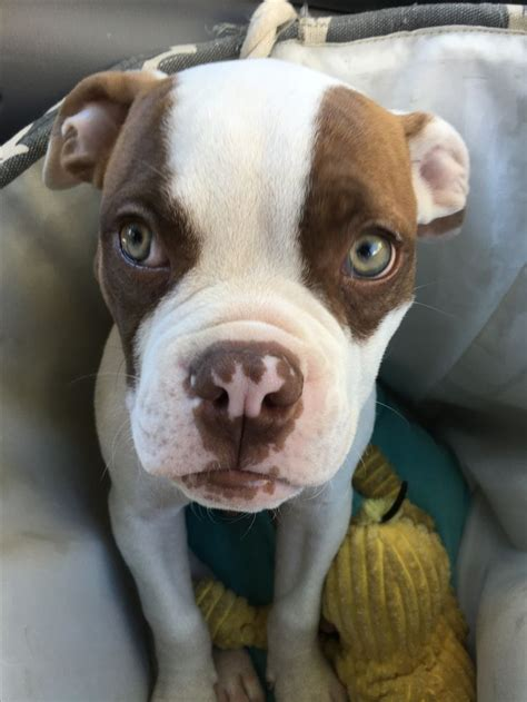 boxer puppies for sale in upstate ny 17 best ideas about american bulldog puppies on american bulldogs blue