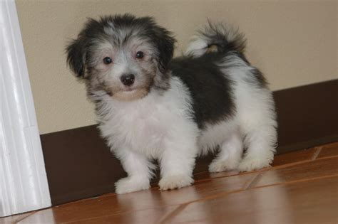 havanese puppies for sale florida royal flush havanese puppy application