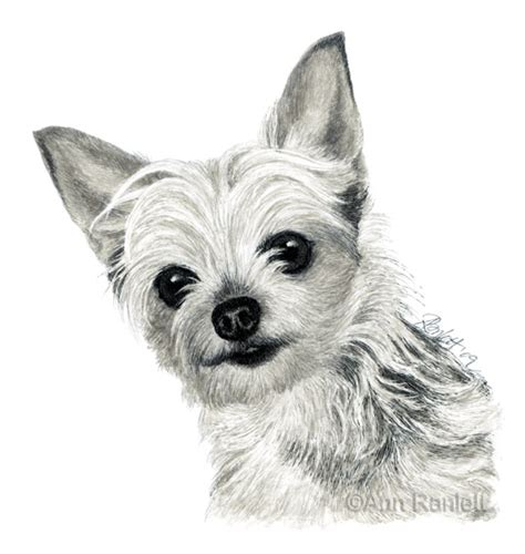 coloring pages yorkie coloring pages of yorkies