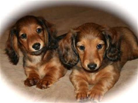 dachshund puppies for sale michigan dachshund puppies for sale