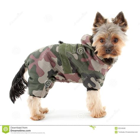 yorkie terrier clothes terrier in winter clothes royalty free stock photos image 22244848