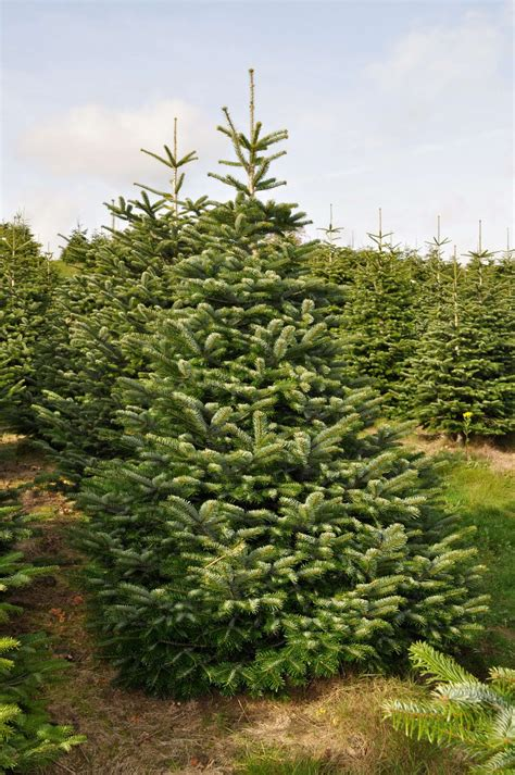 who introduced xmas trees to britain nordman fir send me a tree
