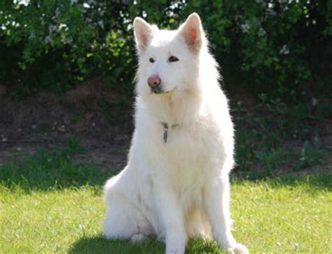 american white shepherd puppies american white shepherd breed