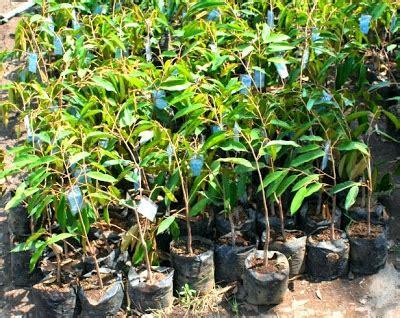 Jual Bibit Cendana Di Medan bibit tanaman murah jual bibit durian di medan